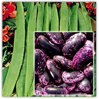 Buy classic purple black runner beans seeds on Amazon.co.uk