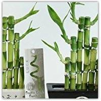 Buy real growing bamboo stems on Amazon.co.uk