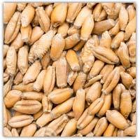 Buy wheat seed on Amazon.co.uk
